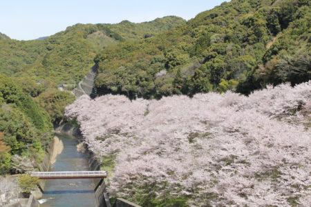 島之瀬ダムの桜